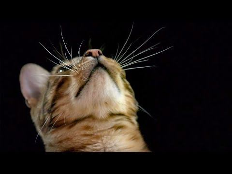 How do Cats Use Their Whiskers? Slow-Motion - Cats Uncovered - BBC