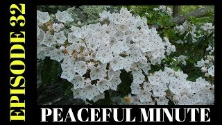 Peaceful Minute ~ Episode 32 ~ Mountain Laurel ~ Blackstone GorgeWelcome to my Peaceful Minutes Series.I will be posting 1 minute videos of peaceful moments that I see in Nature.We all can use 1 minute of peace in our busy lives.I'm planning on posting a new video to this series every Friday for a year. (Started December 2, 2016)  That's my goal.ENJOY!!********************************************************************Please Subscribe, Like, Comment and Share:You Tube:http://www.youtube.com/user/NaturesFairyMy second Channel: BikingAway:https://www.youtube.com/channel/UCfgDmWTZuHBlJxcyai0HBWQYou can find me on:Facebook Gluten Free Page:https://www.facebook.com/SharingGlutenFreeRecipesMy Blog for all my Gluten Free and some Low Carb Recipes:http://sharingglutenfreerecipes.blogspot.com/Instagram:http://instagram.com/sharingglutenfreerecipes/Pinterest:http://www.pinterest.com/naturesfairy/Twitter:https://twitter.com/NaturesFairyGoggle+:https://plus.google.com/u/0/104572512004936962263Tumblr:http://sharingglutenfreerecipes.tumblr.com/Thanks for watching,Peace ~ Love and JoyAlways be humble ~ Always be kindBrenda ~ NaturesFairy********************************************************************Video recorded on 6/11/2017 at:Blackstone River Gorge ~ Rolling DamDirections:Located at the end of Country Street off of RT. 122 in Blackstone Mass. ********************************************************************MUSIC CREDIT:Ascending the Vale Kevin MacLeod (incompetech.com)Licensed under Creative Commons: By Attribution 3.0 Licensehttp://creativecommons.org/licenses/by/3.0/********************************************************************Peaceful MinutePeaceful Minute Episode 32Peaceful Minute SeriesPeaceful Minute in NaturePeaceful Relaxing MinuteChill out in NatureTimeout in NatureNature MeditationAway from the Hustle and BustleMoments of PeacePeaceful MomentsPeaceful Moments in NatureOne Minute in NatureOne Minute of PeaceOne Minute RelaxationSpend time in NaturePeaceM
