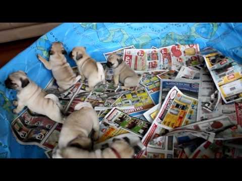 Pug puppies playing hard!