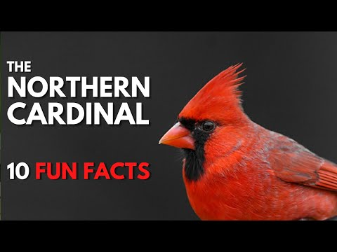 10 FACTS about the Fun & Interesting NORTHERN CARDINAL