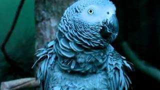 Papagaio que Canta o Hino Nacional Italiano