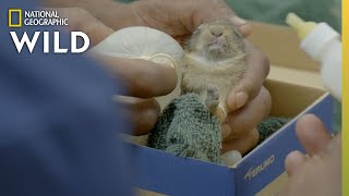 Rescuing an Orphaned Bunny | Critter Fixers: Country Vets by Nat Geo WILD