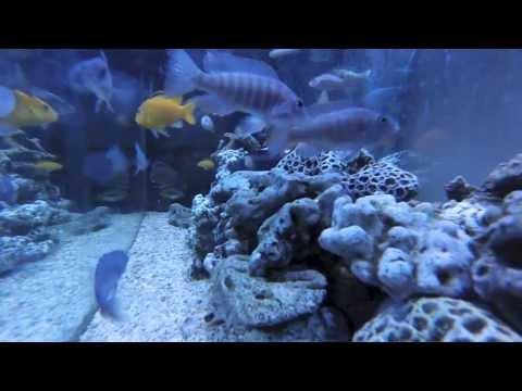 アフリカンシクリッド90cm水槽GoPro水中撮影 -Under Water African-cichlids Tank -GoPro HERO3-