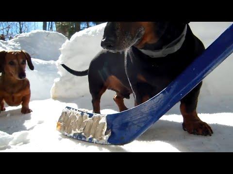 i bassotti che amano giocare a hockey sulla neve