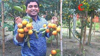 পার্সিমন- বাণিজ্যিক চাষে বাংলাদেশ-পার্ট-০৩- Persimmon- commercial variety