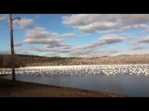10 000 Snow Geese Taking Off Together