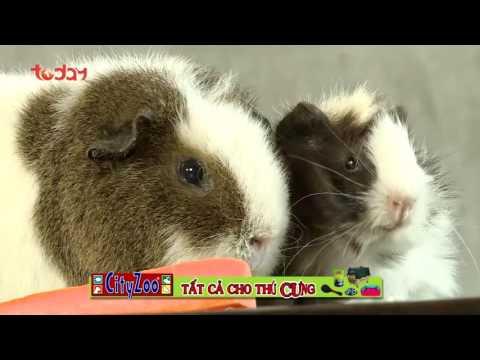 Kỳ 4: Giới thiệu về trào lưu nuôi chuột lang của giới trẻ - Thú Cưng TV