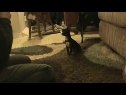 Smog – 12 Week Old Deer Head Chihuahua Puppy Learning Tricks