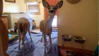 Deer Breaks Into House Using Doggy Door