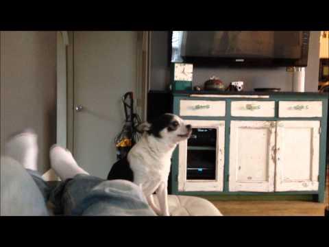 Chihuahua Tells a Story