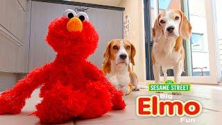 Funny Dog Vs ELMO : Cute Beagle Dog Marie
