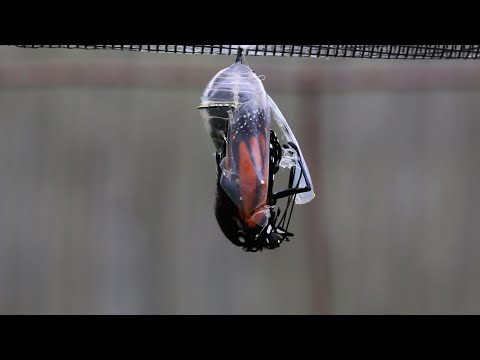 Adult Monarch Butterfly Emerges from its Chrysalis
