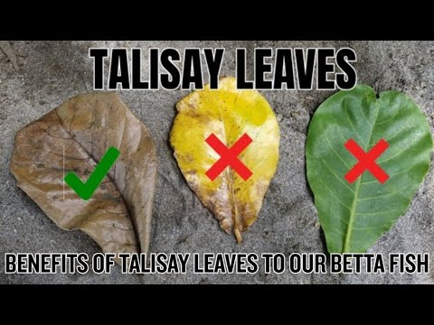 ALL ABOUT TALISAY LEAVES | BENEFITS OF TALISAY LEAVES TO OUR BETTA FISH |  Vlog #5