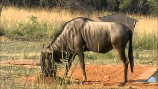 Naboomspruit South Africa  city images : Blue Wildebeest Bow Hunt Naboomspruit South Africa