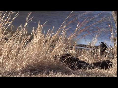 Black Labrador Retriever Female.
