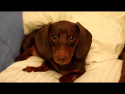 Sassy Dachshund Puppy