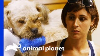 Vets Rush To Save Sick Dog In Critical Condition   Pit Bulls & Parolees by Animal Planet