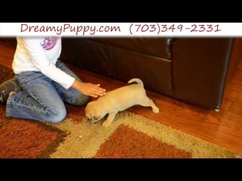 Loving Pocket Puggle Male Puppy 2