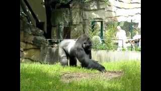Wziął sprawy w swoje ręce! Wk*rwiony goryl ma już dość pracowników, którzy hałasują od rana!