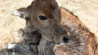 We got a call on our helpline to rescue a newborn calf who had just been dumped by a dairy owner. The little boy calf was still wet with afterbirth. He had been dumped and left to die on the side of the road so that he wouldn't drink any of his mother's milk.Today Dil is 2 months old and will live at our shelter for the rest of his life. Please donate to rescue precious babies like Dil : http://www.animalaidunlimited.org/how-to-help/donate