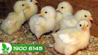 """Chăn nuôi gà   Thuốc đặc trị bệnh cầu trùng ở gà con: Chữa là """"khỏi"""""""