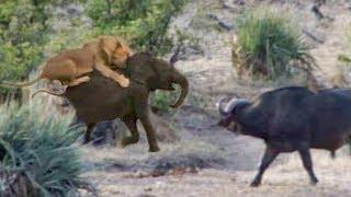 守ってくれるはずのお母さんはどこ?ライオンに襲われた子ゾウをアフリカスイギュウが助けに来た