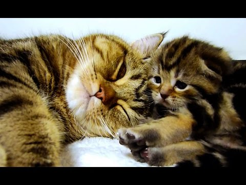 kitten - Subscribe: http://bit.ly/FunnyCatsAndNiceFish Mom Cat talking to her Kittens. These kittens were born July 22, 2012. Soon Rocky, Rosy, Ruby, Raul and Rio wil...
