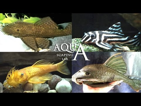 acquariofilia - ancistrus