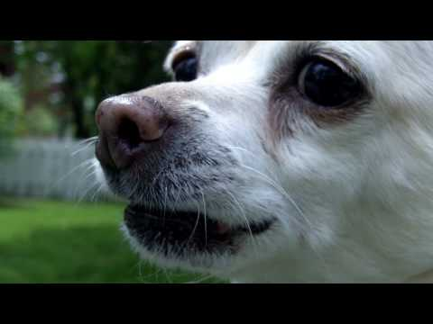 HD chihuahua barking
