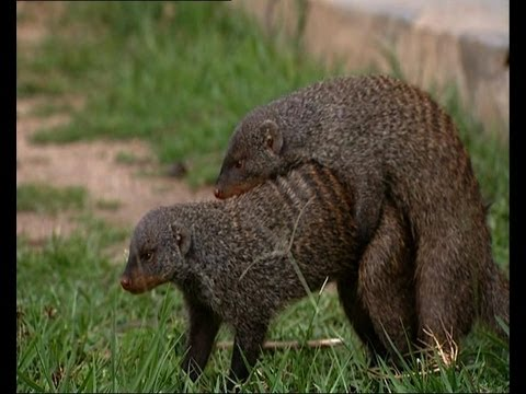 mongoose - Banded Mongoose breed regularly. As the females in the group come into season, the younger males find themselves competing with the older males for a mate. F...