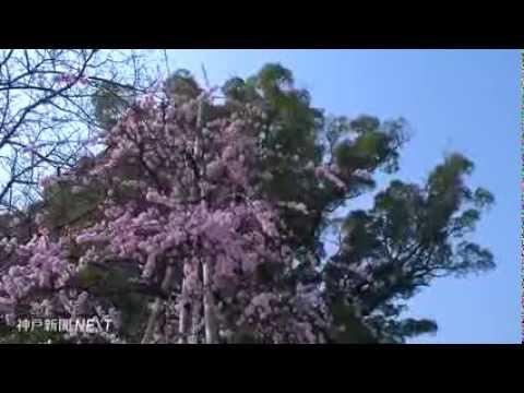 春の訪れ告げ人々包む 妙勝寺