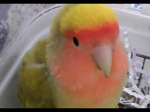 agapornis - Cuqui es un Agapornis Roseicollis hembra. Su mutación es Arlequín Verde Oliva o DD. Tiene 3 años en este vídeo. Es papillera. Tenéis algunos vídeos sobre ell...