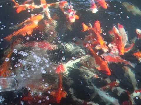 主に光もの錦鯉2012冬