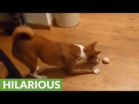 il-cagnolino-che-impazzisce-per-luovo-sodo