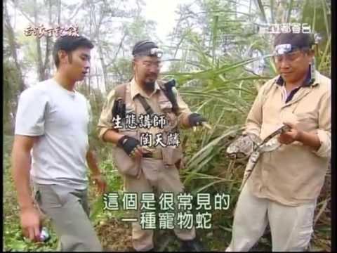 台灣野生大蟒蛇