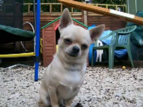 Rico The Best agility chihuahua ever born