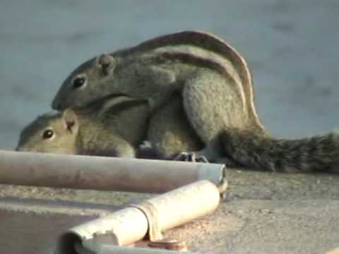 Mating Palm Squirrels - Part1