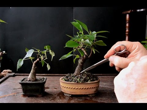 Keeping a Bonsai Tree Small, Dec 2016