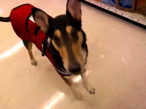 Autism Service Dog – Dropped Item, Stim Alert