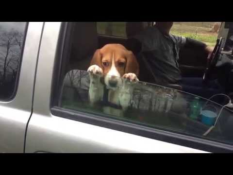 Beagle puppy hangs on to a car window no matter what