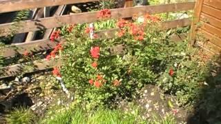 #238 Eine neue Rosenzüchtung von Magda Kobelt