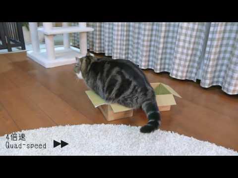 這主人給了貓咪兩個盒子想看看會有什麽反應,最後竟然噴笑著看牠陷入貓生中最困難的抉擇!