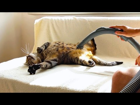 Bobo Cat Really Loves Being Vacuumed