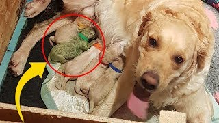 Video Golden Gives Birth To Rare Puppy, Only 3 Known To Have Ever Existed MP3, 3GP, MP4, WEBM, AVI, FLV Agustus 2019