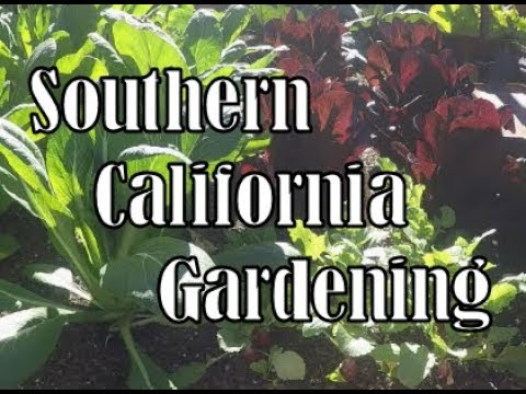 harvesting some delicious greens - southern california gardening