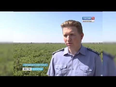 Специалисты Россельхознадзора проводят мониторинг картофельных полей в Волгоградской области.