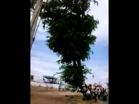 50 years tree destroyed in seconds