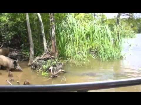 Turyści sprowokowali dzika przez co aligator go chwyta