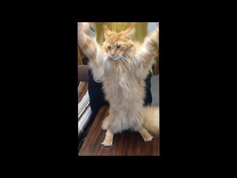 Кот мясника танцует :D