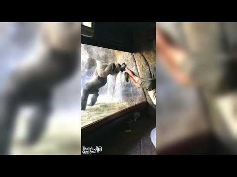 Tampa (Florida)/USA: Gymnastik mit Gorillamännchen  ...